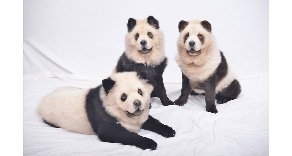 Panda Chow Chows 2486592 Peaceful Pets Aquamation